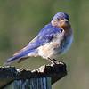 Morning bluebird