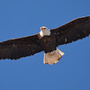 Bald eagle looking over Canada goose nest on island in the Namekagon River