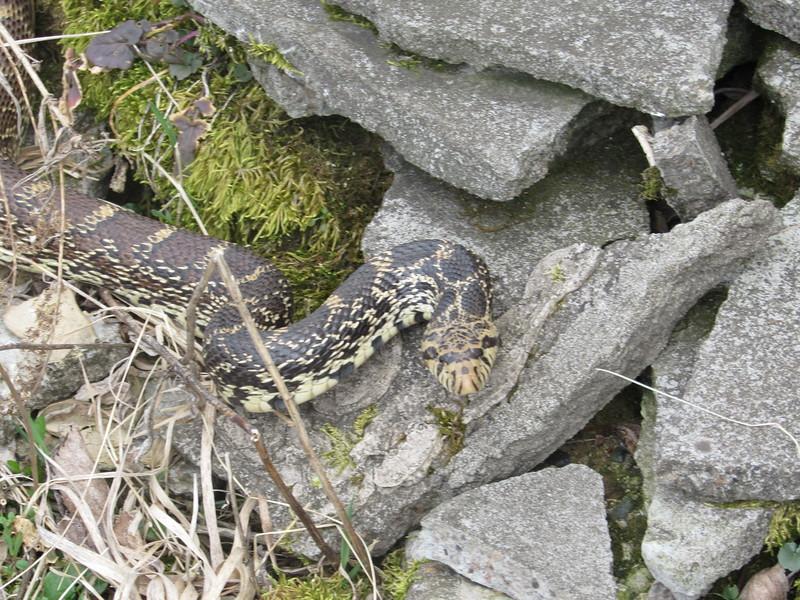 Posing Bull Snake