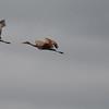 Red-winged Blackbird Chasing Sandhill Cranes