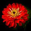 Red Zinnea