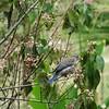 Bluebird on dogwood