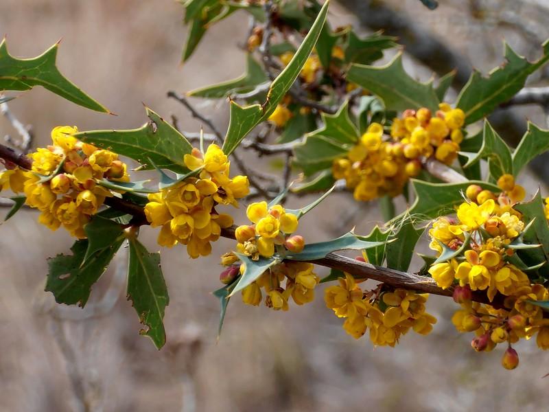 Agarita (Berberis trifoliata)