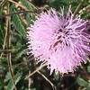 Mimosa microphylla