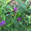 Vernonia fasciculate