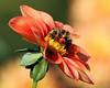 Bonneyville Bee Budies