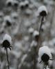 Snow Bonnets