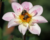 Bonneyville Nectar