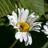 Daisy with a honeybee