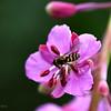 Honeybee on fireweed bloom