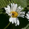 Daisy with honeybee