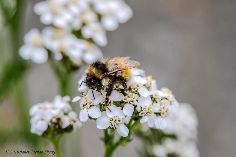 Honeybee on wildflowers