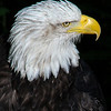 Bald Eagle in profile. 8x10 inches