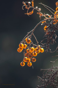 Soapberry Tree Seeds  8x12