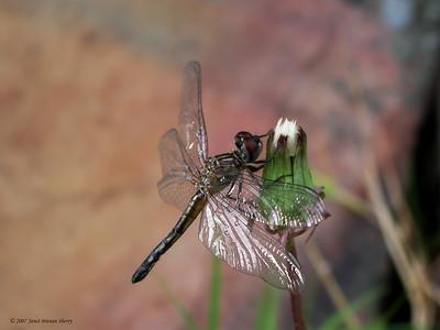 Dragonfly on Dandelion  12x9