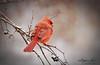 Cardinal-