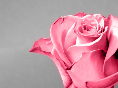 After ... TimeSmart Images took the original rose and hand painted in pink tones with stunning results.