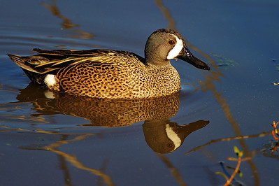 BBSP_Blue-winged_teal_WCW8701