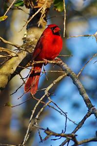 BBSP_Northern_cardinal_WCW8692