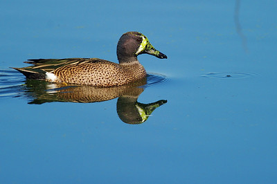 BBSP_Blue-winged_teal_WCW8811