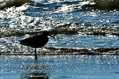 Willet Silhouette