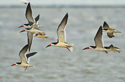 Black Skimmers Flight