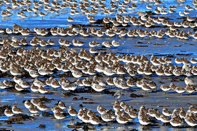 Rows of Sanderlings