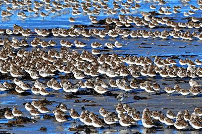 Rows of Sanderlings