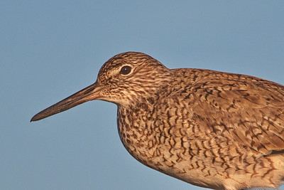 Willet closeup