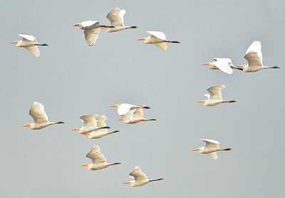 Cattle Egrets Flight