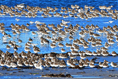 Shorebirds:  Terns, Sanderlings