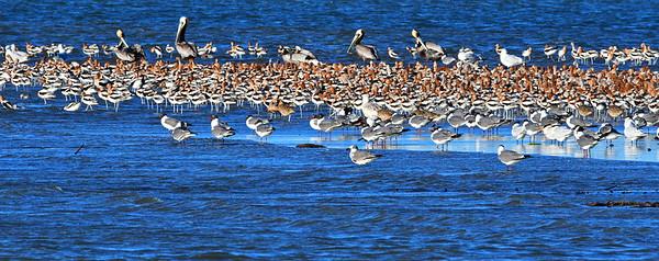 Shorebirds:  Brown pelicans, American avocets, terns, seagulls