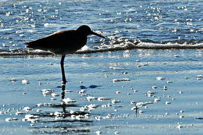 Willet in Silhouette