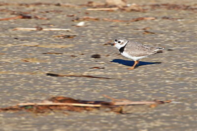 Piping Plover.......breeding plumage