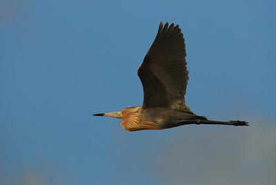 Reddish Egret in flight,  Bolivar Peninsula