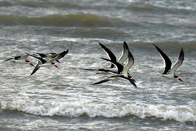 Black Skimmers in flight, Bolivar Peninsula