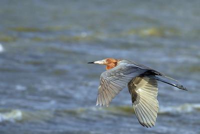 Reddish Egret flying over Bolivar Peninsula