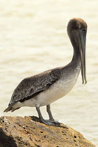 Brown Pelican on the Texas City Dyke