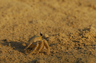 Sand Crab, what the birds were eating on the beach