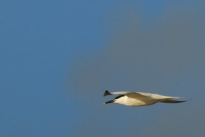 Sandwich Tern in flight, Bolivar Peninsula
