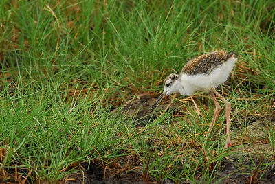Baby Black Necked Stilt with mom and sibbling on Bolivar Peninsula