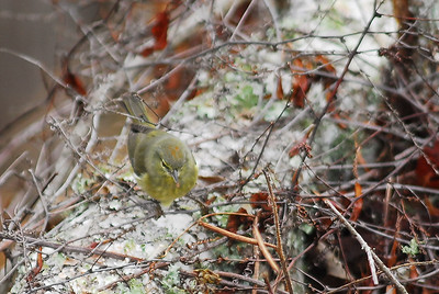 "You can see the ""orange crown"" on this Orange-crowned Warbler."