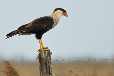 SittinCrestCaracara