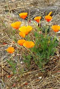 California poppies - state flower