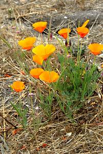 California poppies - state flower