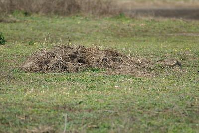 Camouflaged Marbled Godwit