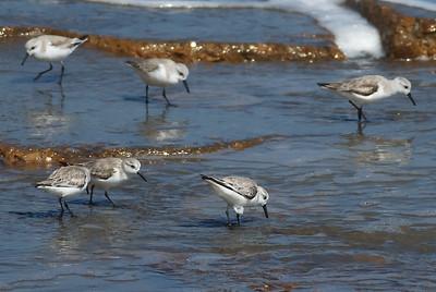 Sanderlings at the Seawall in Galveston