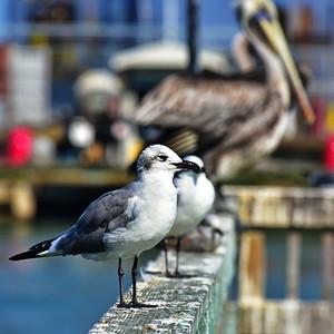 Galveston_Super-Moon_Seagulls_On_Fence_D75_1001