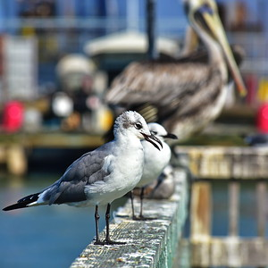 Galveston_Super-Moon_Seagulls_Fence_D75_1002