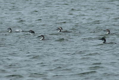 Common Loons in Offets Bayou